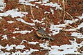 Varied Thrush (Ixoreus naevius) (5634534031).jpg