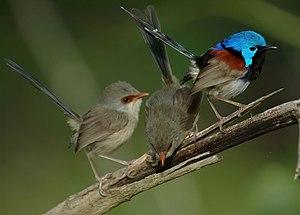 Variegated fairywren - Male and females, Dayboro, SE Queensland