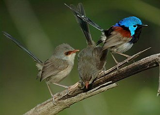 Variegated fairywren - Male and females, Dayboro, SE Queensland