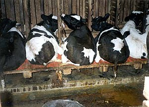 Veal - Restricted living space is one of the practices believed to be inhumane in the veal industry.