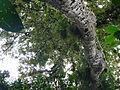 Vegetación de la Reserva de la Biosfera La Amistad Panama (RBLAP) 08.JPG