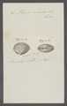 Venus marica - - Print - Iconographia Zoologica - Special Collections University of Amsterdam - UBAINV0274 077 12 0016.tif