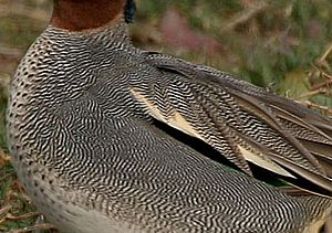 Vermiculation - Close view of a common teal showing the vermiculation pattern in its feathers.