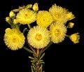 Verticordia rutilastra - Flickr - Kevin Thiele.jpg