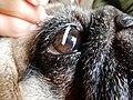Veterinary eye cure.jpg