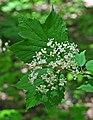 Viburnum acerifolium (9061358569).jpg