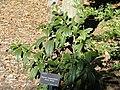 Viburnum cinnamomifolium - J. C. Raulston Arboretum - DSC06236.JPG