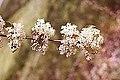 Viburnum prunifolium 5zz.jpg