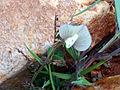 Vicia lutea FlorFrontal 2009-4-12 CampodeCalatrava.jpg