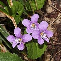 Viola selkirkii (flower s3).jpg