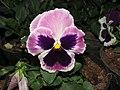 Viola tricolor var. hortensis, garden pansy from Nilgiris (9).jpg