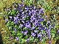 Violettes à Lacrost.jpg