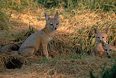 Vulpes macrotis mutica with pups.jpg