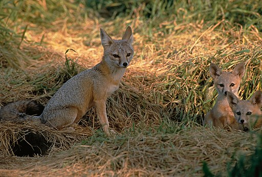 Vulpes macrotis mutica with pups