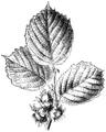 WWB-0295-144-Corylus avellana-crop.png