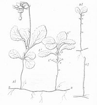 Warming-Skudbygning-Fig23-Moneses-uniflora.jpg