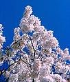 Washington - Closeup of Cherry Blossoms (4405732788).jpg