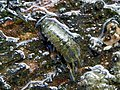 Water Hoglouse (probably Asellus aquaticus) (22973236459).jpg