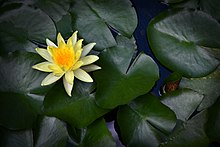 Water Lily at Amanpuri Resort.jpg