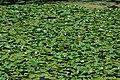Water lilies in Kerkini Lake.jpg