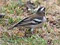 Weaver, White-browed Sparrow3.jpg
