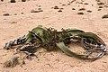 Welwitschia mirablis-1386 - Flickr - Ragnhild & Neil Crawford.jpg