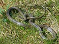 Western Whip Snake (Hierophis viridiflavus) male (Found by Jean NICOLAS) (14086101473).jpg