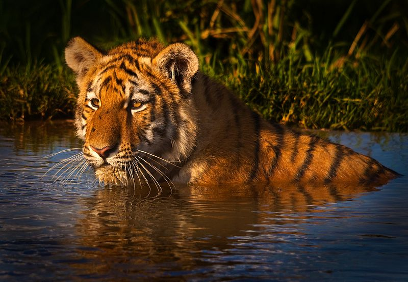 File:Wet tiger.jpg
