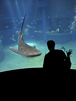 Photograph of captive whale shark in aquarium