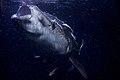 Whale Shark 1 AdF.jpg