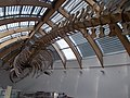 Whale skeleton in HNHM. - Ludovika Sq 2-6., District VIII., Budapest.JPG