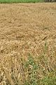 Wheat - Murshidabad 2017-03-28 5976.JPG