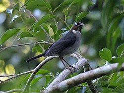 White-eyed Thrush RWD.jpg