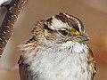 White-throated Sparrow - Zonotrichia albicollis, Veteran's Park, Woodbridge, Virginia (39658614952).jpg