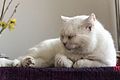 White Cat by Sebaso.jpg
