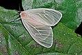 White Moth (Erebidae, Lymantriinae)(Id ?) (17675104173).jpg