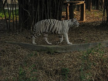 White Tiger Cooling Off in a Summer Evening. 04.jpg