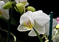 White and yellow orchid.jpg