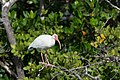 White ibis on mangrove branch (23339495104).jpg