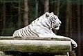 White tiger - Serengeti-Park Hodenhagen 2017 06.jpg