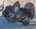 Why Did The Turkeys Cross The Road (16930023002).jpg