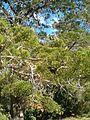 Widdringtonia nodiflora KirstenboshBotGard09292010B.JPG
