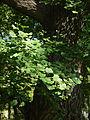 Wien Stadtpark Ginkgo Blätter.JPG