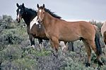 two horses standing on a sagebrush-covered hill