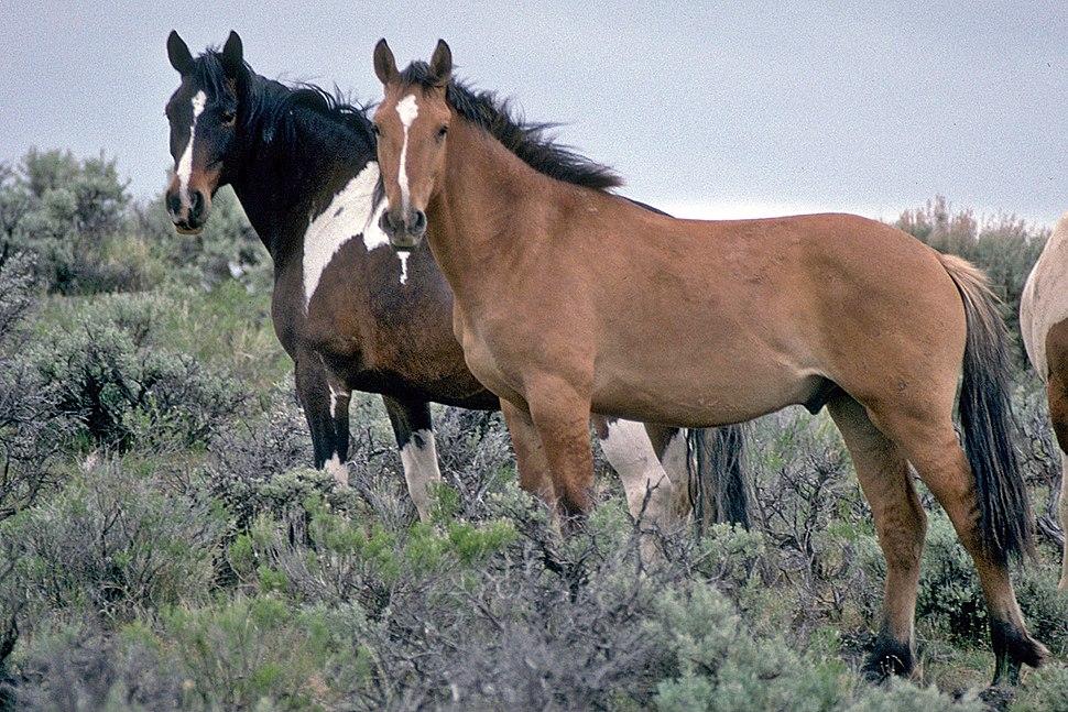 Wild Horses on Steens Mountain (6983016963)