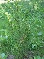 Wilde kruisbes (Ribes uva-crispa wild plant).jpg