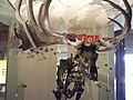 Wildlife - Thinktank Birmingham Science Museum - A Giant Deer (8613598243).jpg