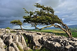 Wind-formed trees - geograph.org.uk - 1421578.jpg
