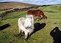 Windswept ponies - geograph.org.uk - 85284.jpg