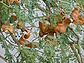 Winter Thorn (Faidherbia albida) pods (11887672376).jpg